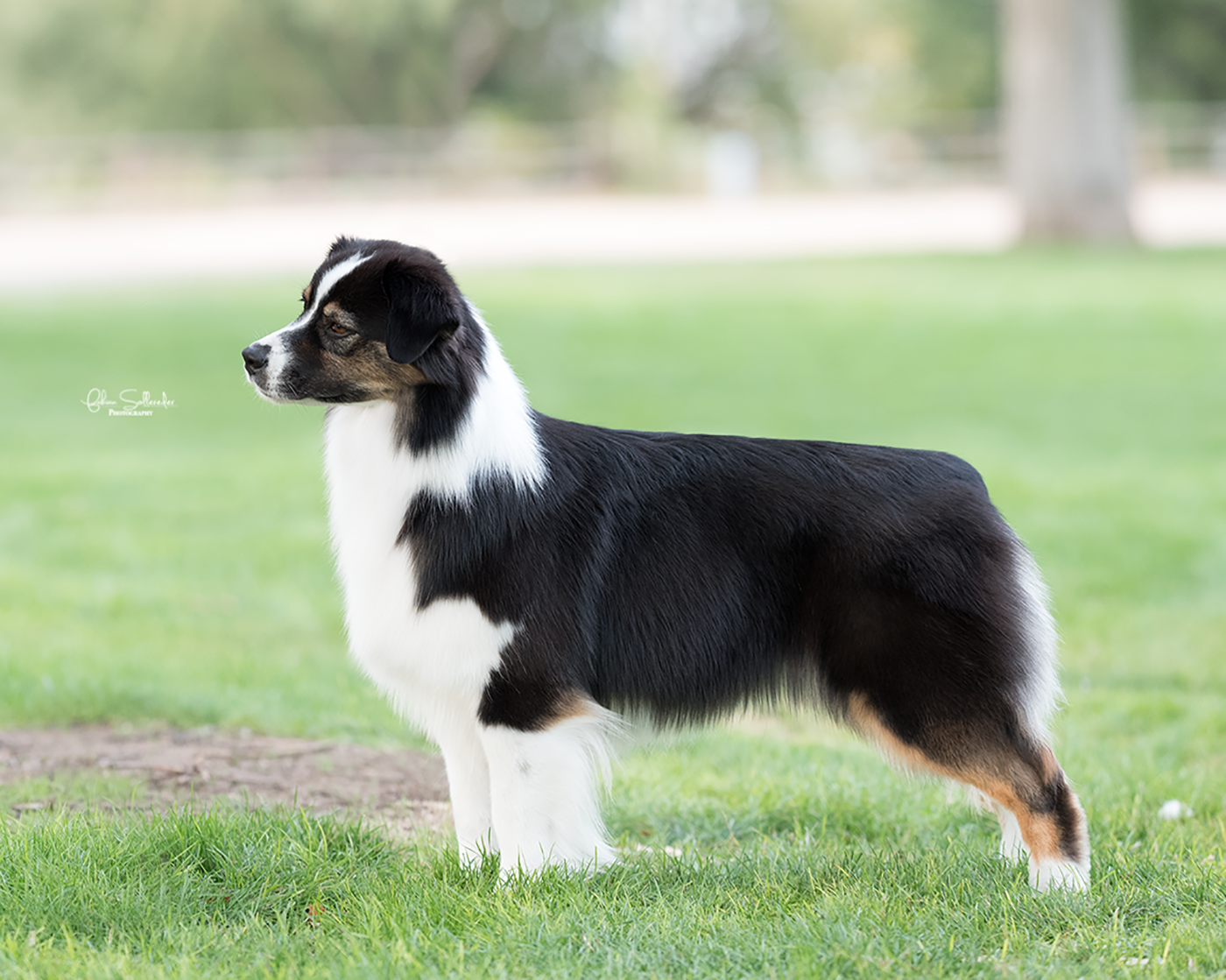 "AKC/ASCA CH Stone Ridge Girl In A Country Song ""Tae"""